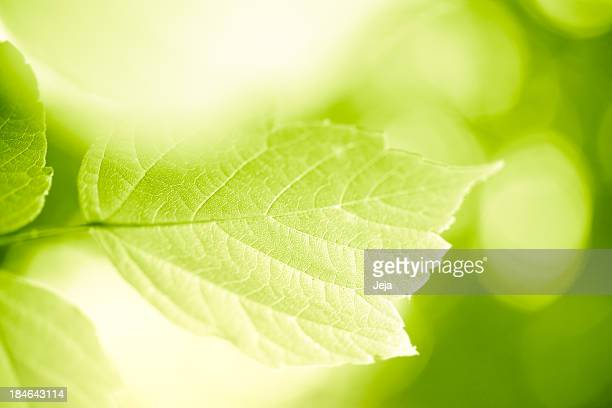 green leaves - photosynthesis stock photos and pictures