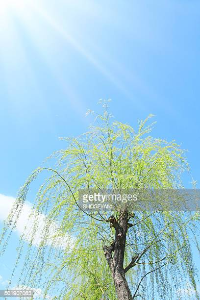 green leaves - mishima city stock photos and pictures