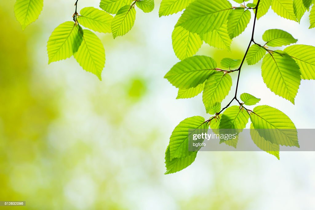 Free Beech Tree Leaf Images, Pictures, And Royalty-Free
