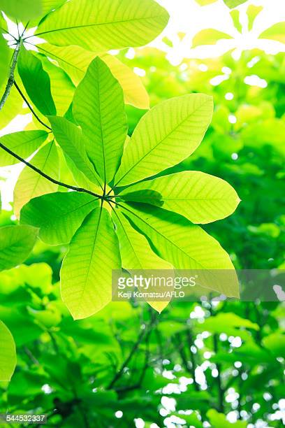 green leaves - magnolia obovata stock photos and pictures
