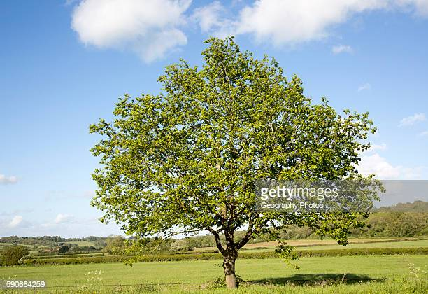 Green leaves single tree standing in green field with blue sky Wiltshire England UK