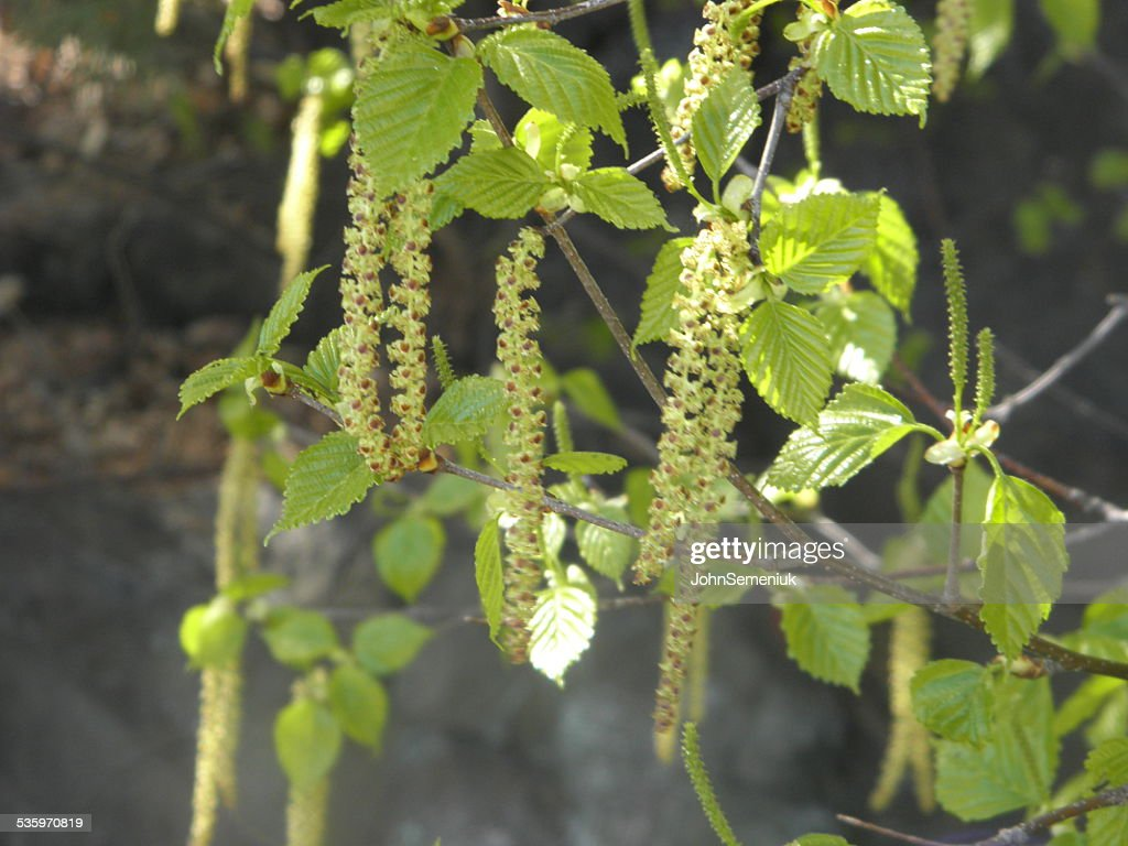green leaves & string seed pods. : Stock Photo