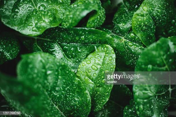 groene bladeren met dauwdalingen - leaf stockfoto's en -beelden