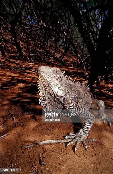 Green leguan green iguana Iguana iguana Netherlands Antilles Bonaire Bonaire Washington Slagbaai National Park Pos Mangel