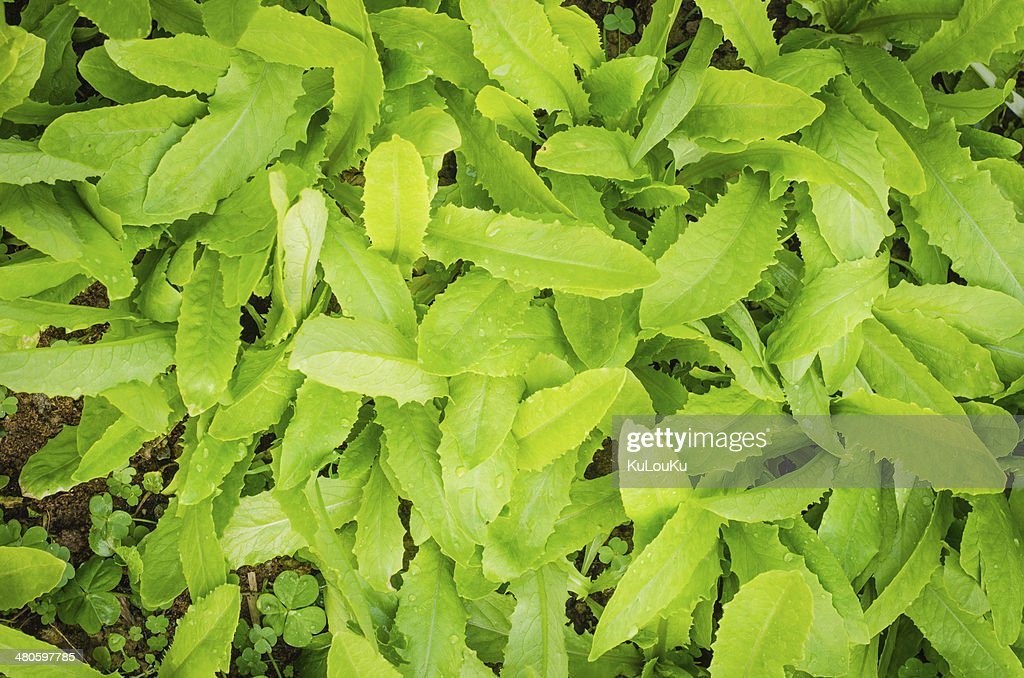 Green lettuce  food and vegetable background. : Stock Photo
