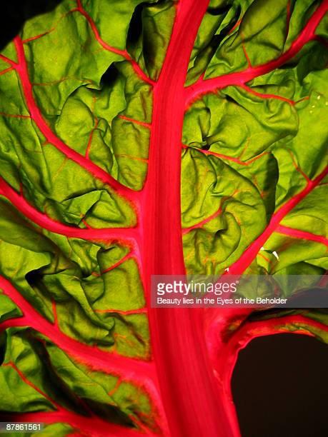 Green lettuce leaf with magenta veins