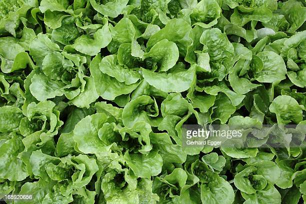 Green lettuce leaves