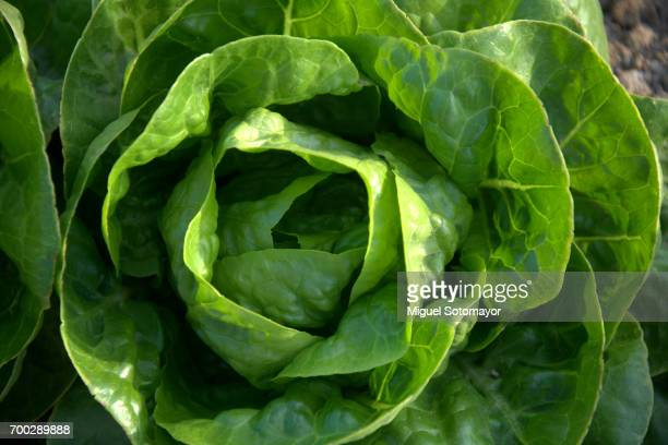 green lettuce - lettuce stock pictures, royalty-free photos & images