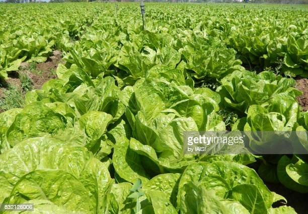 green lettuces in the fields, ripe - green salad stock pictures, royalty-free photos & images
