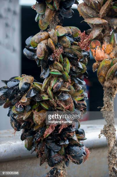 Green lipped mussels also called greenshell mussel are being farmed in the Marlborough Sounds of the South Island in New Zealand