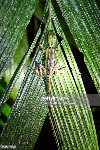 green lizard at night in costa rica - iacomino costa rica foto e immagini stock