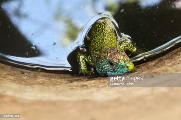 Green Lizard (Lacerta bilineata) Bathing In A Barrel