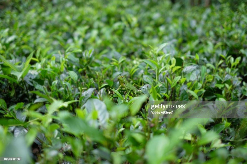 Green Lizard - Camouflage : Stock Photo