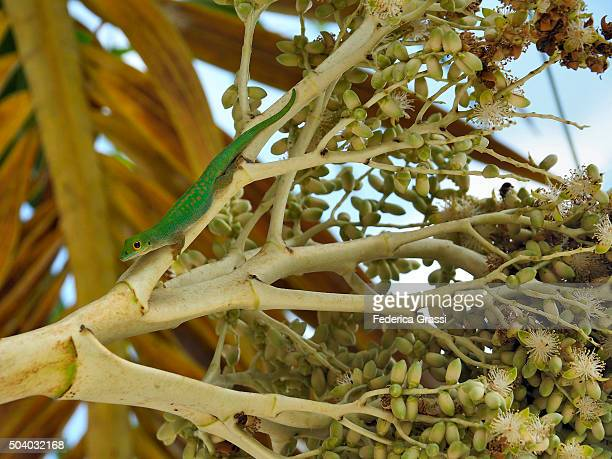 Green Lizard on Palm Tree at the Seychelles, Cerf Island