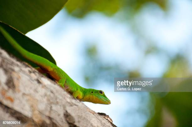 green lizard on tree trunk - la digue island stock pictures, royalty-free photos & images