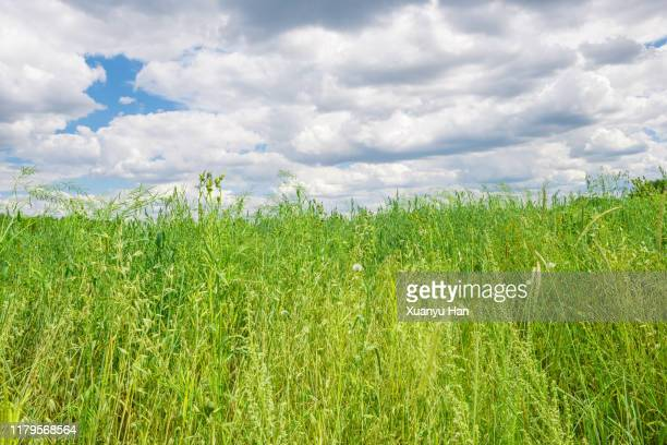 green long grass - hebei province stock pictures, royalty-free photos & images