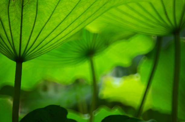 Green lotus leaves look like umbrellas