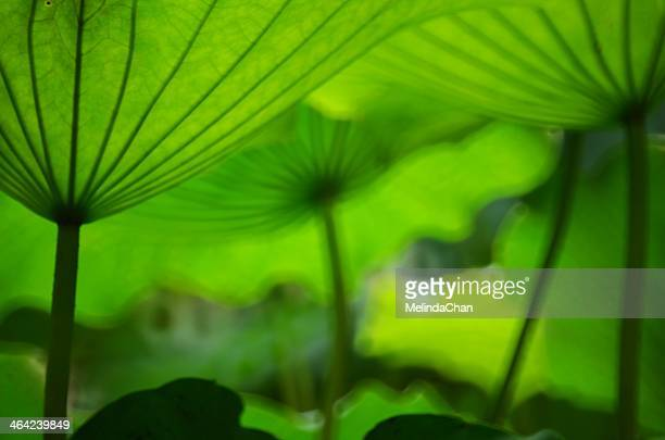Green lotus leaves look like umbrellas
