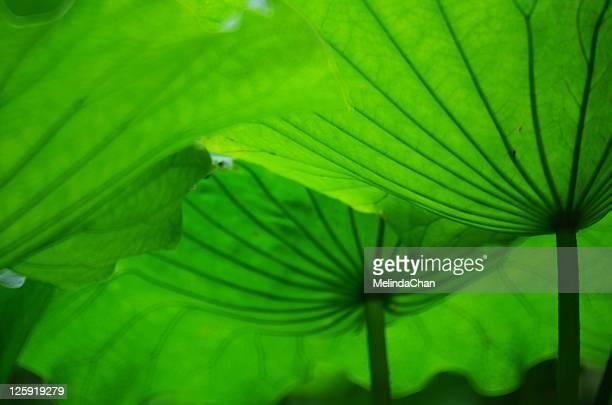 Green lotus umbrellas leaves