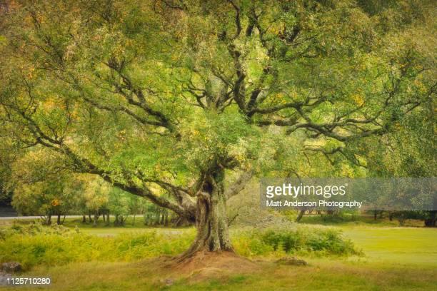 green lush tree wicklow - ash tree bildbanksfoton och bilder