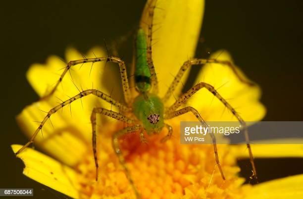 Green Lynx Spider on Daisy Southern California