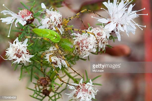 Green Lynx Spider On Feathery Flower