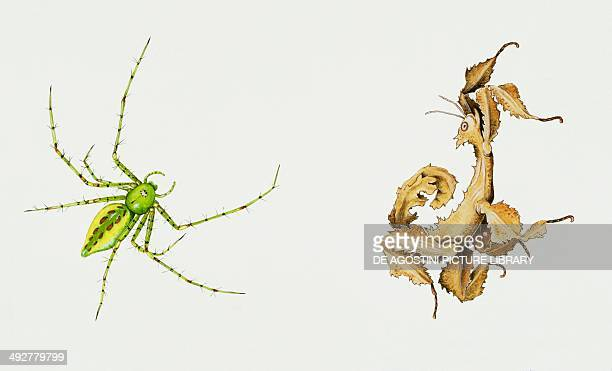 Green lynx spider Oxyopidae and Macleay's specter Phasmatidae Artwork by Bridgette James