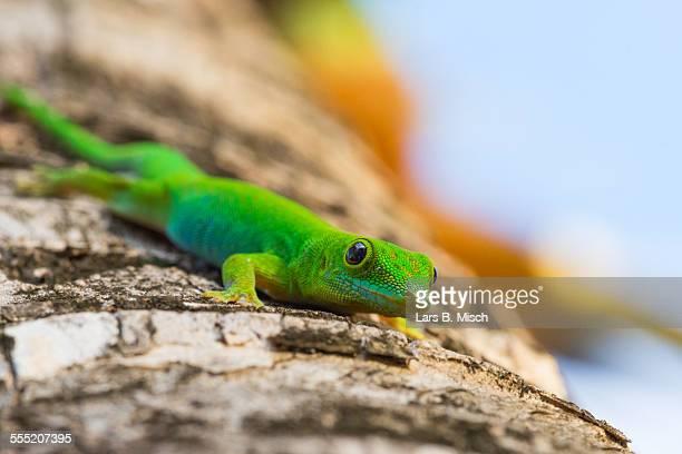 Green Madagascar Day Gecko