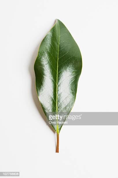 Green magnolia leaf
