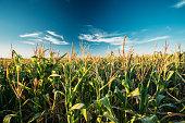 Green Maize Corn Field Plantation In Summer Agricultural Season. Skyline Horizon, Blue Sky Background