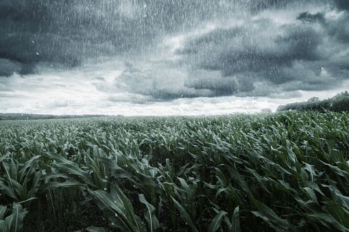 green maize field in front of dramatic clouds and rain 813640942