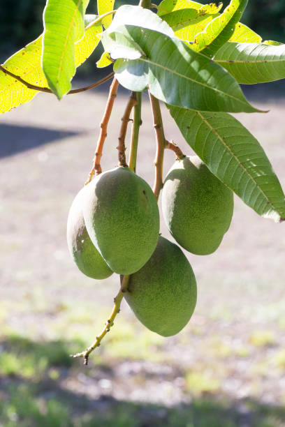 Green mango fruits are hanging from a mango tree