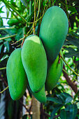 mango fruit food fruit plant asia