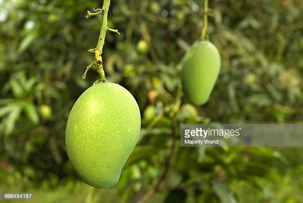 Green mangoes on a tree inRangamati Bangladesh Mango is a popular summer fruit in Bangladesh