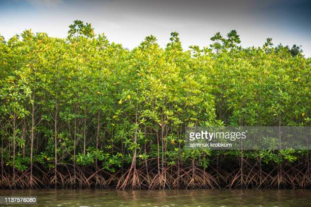 green mangrove forest - mangroves stock pictures, royalty-free photos & images