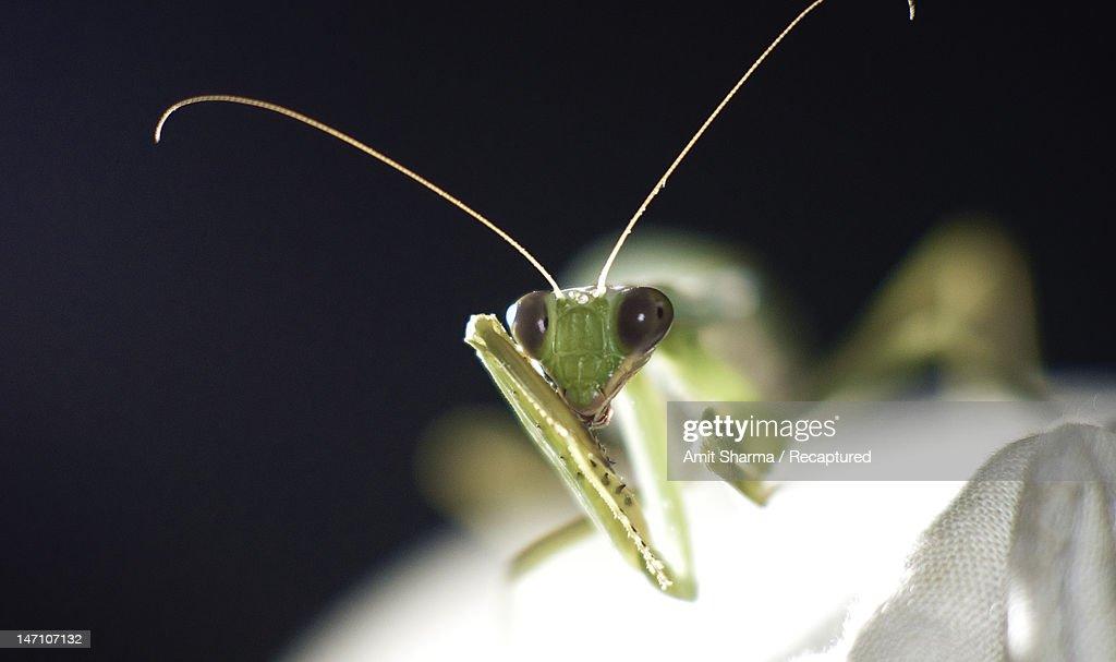 Green mantis : Stock Photo