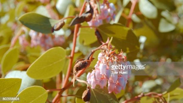 green manzanita shrub in bloom macro forest wildflowers in meadow mt. hood spring forest oregon cascade mountains - manzanita stock pictures, royalty-free photos & images