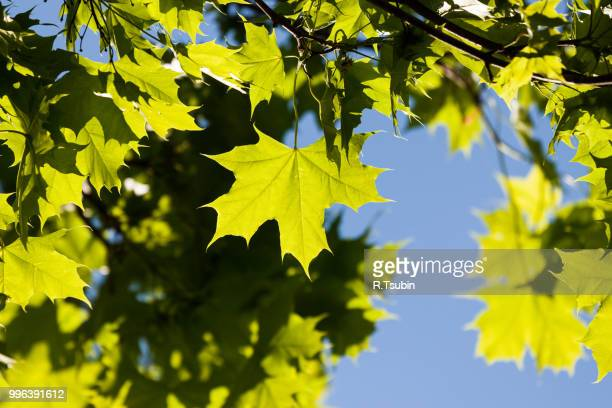 green maple leaf over blue sky - maple tree stock pictures, royalty-free photos & images