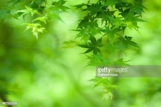 green maple leaves during springs - wilmington delaware stock pictures, royalty-free photos & images