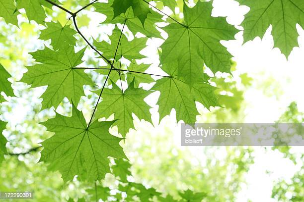 Green maple leaves on a limb with more blurred in background