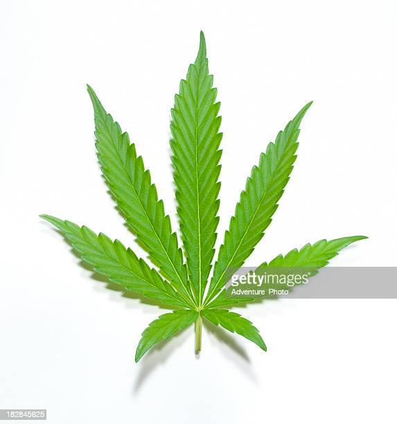 green marijuana leaf - cannabis plant stock photos and pictures