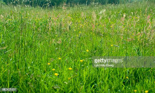 green meadow grass and buttercups - lyn holly coorg stock-fotos und bilder