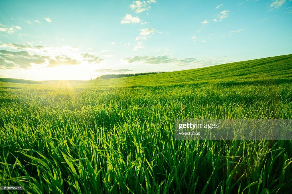 Green meadow : Stock Photo