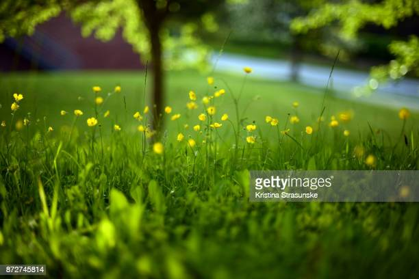 green meadow with small yellow flowers - buttercup stock pictures, royalty-free photos & images