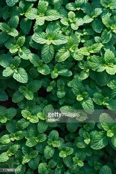 green mint leaves - minze stock-fotos und bilder