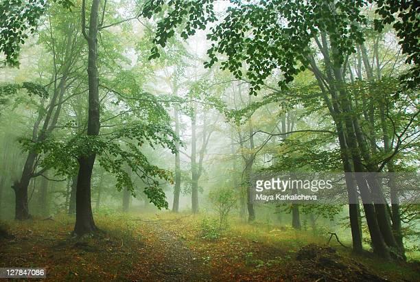 Green, misty woods
