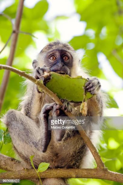 Green monkey, Barbados, Caribbean
