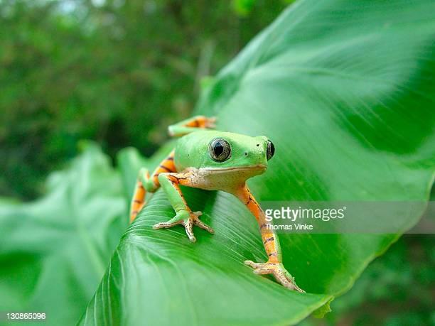 green monkey tree frog (Phyllomedusa hypochondrialis azurea) crawling on banana a leaf, Gran Chaco, Paraguay