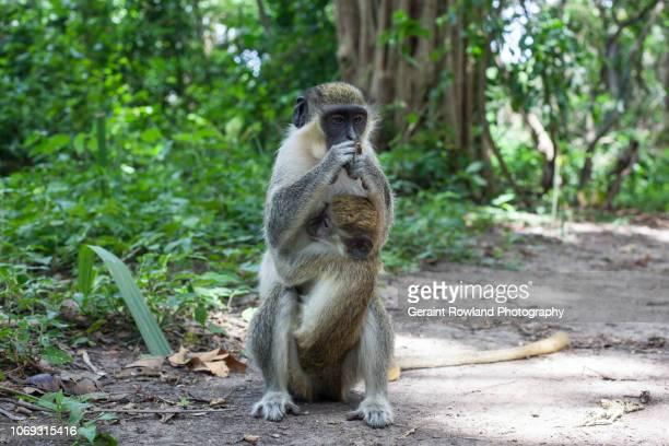 Green Monkeys, Africa