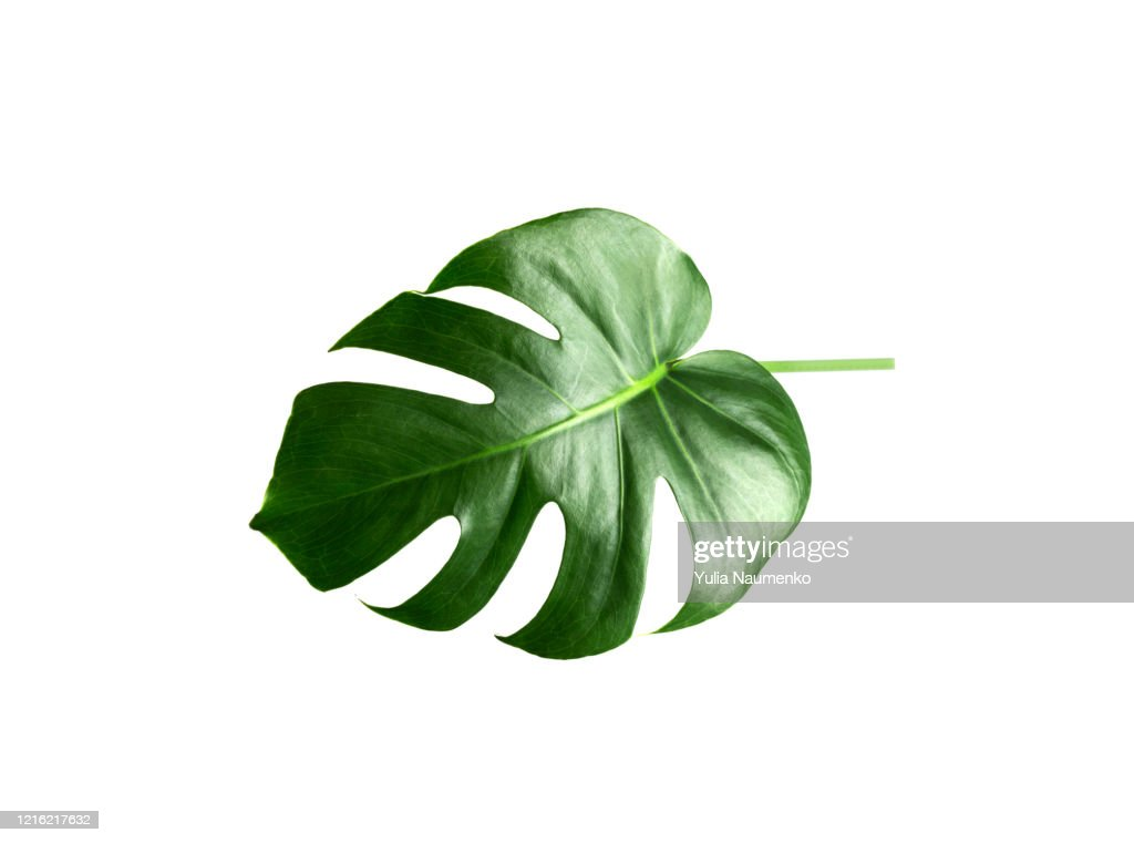 Green Monstera leaf isolated on white background. Tropical plant popular in home decor. : ストックフォト